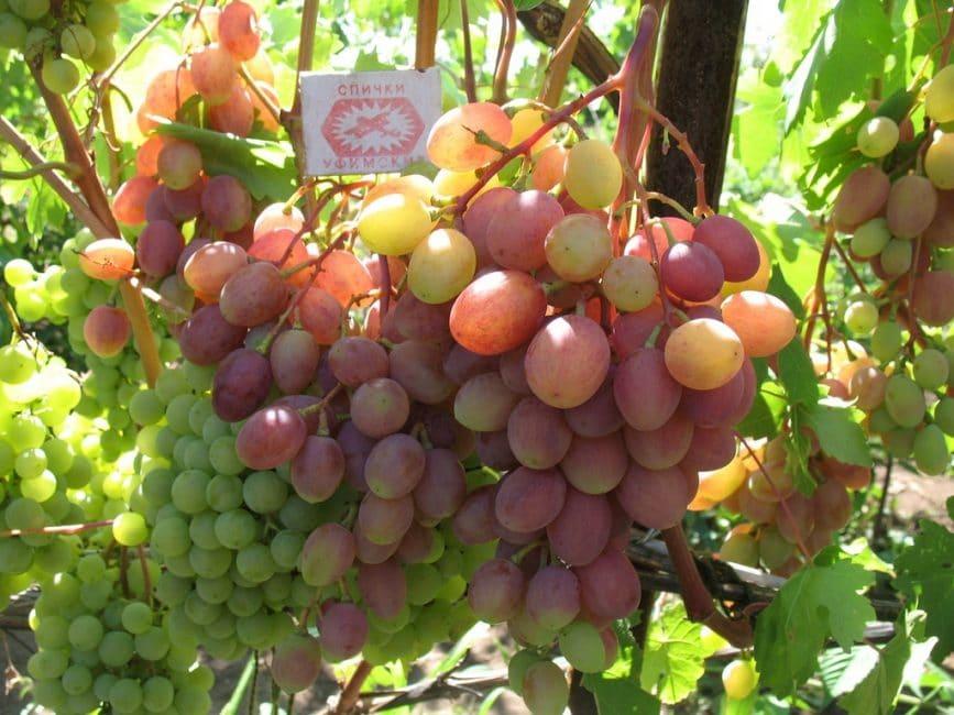 Русвен сорт винограда
