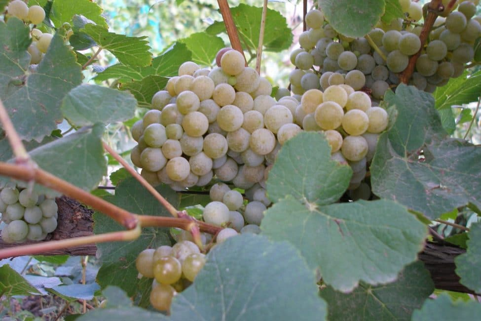 Дублянский сорт винограда
