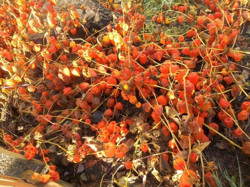 Физалис дикий с большим количеством плодов, выращенный в естественных условиях