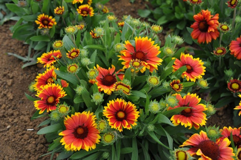 После деления маленькие кустики цветочной культуры постепенно восстанавливаются и идут в рост. гайлардия