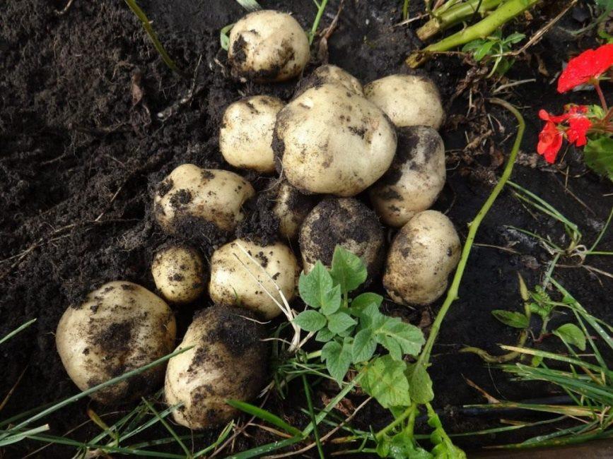 Относительно неплохой урожай картофеля, выращенного из семян
