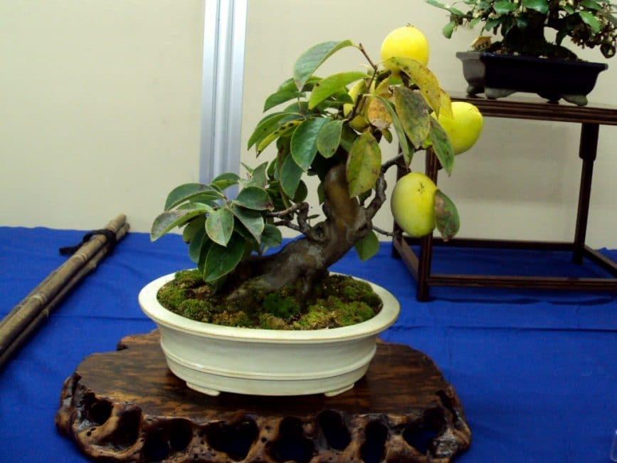 «Высший пилотаж» в выращивании манго: плодоносящее растение в стиле бонсай