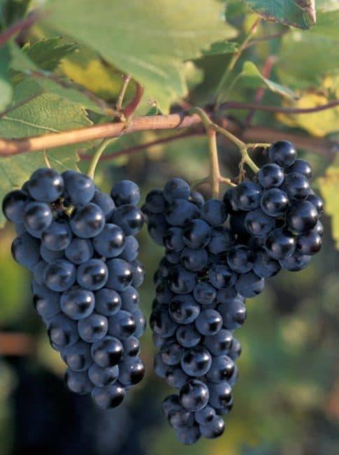 Маркетт сорт винограда