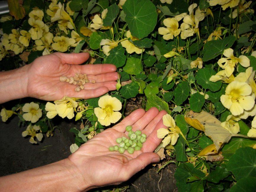Семена настурции можно собрать самостоятельно и высаживать в последующие годы