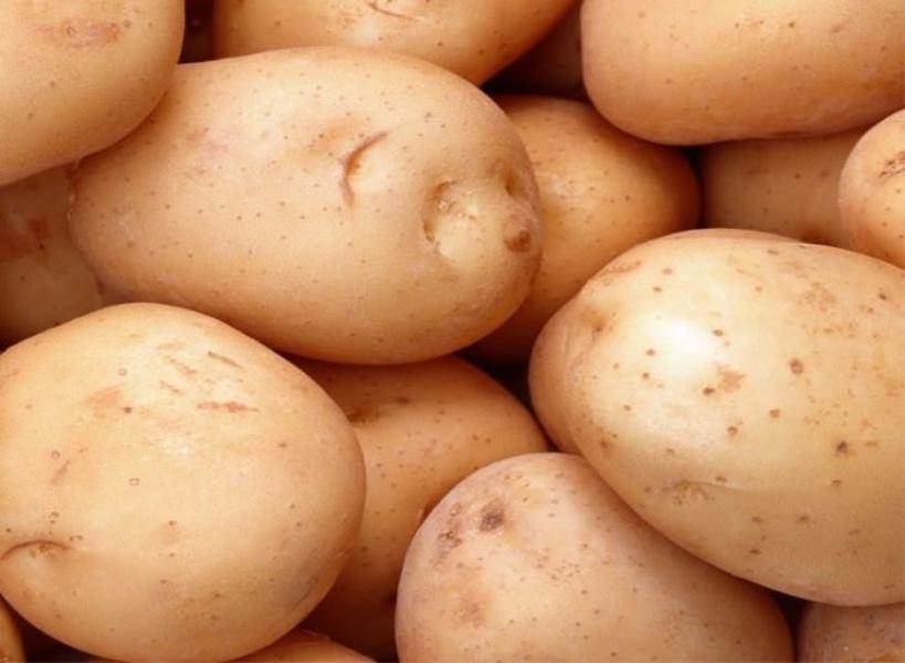 Картофель сорта Илона.