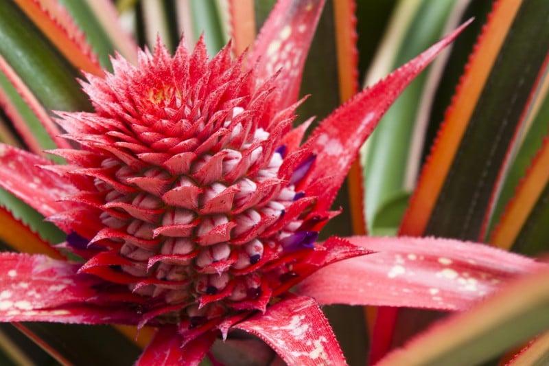 Цветок ананаса декоративного