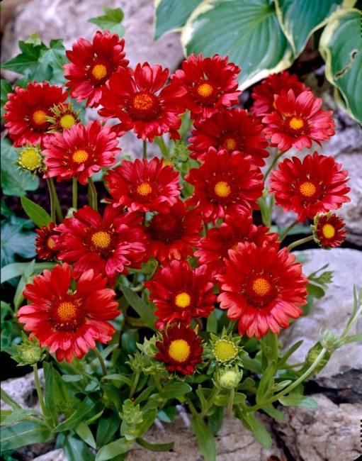 Яркая окраска цветков вызывает положительные эмоции. Гайлардия