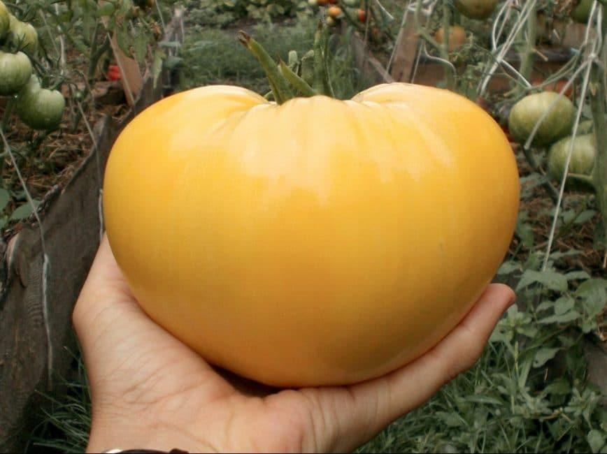 Зрелый томат Бычье сердце белое (White Oxheart)