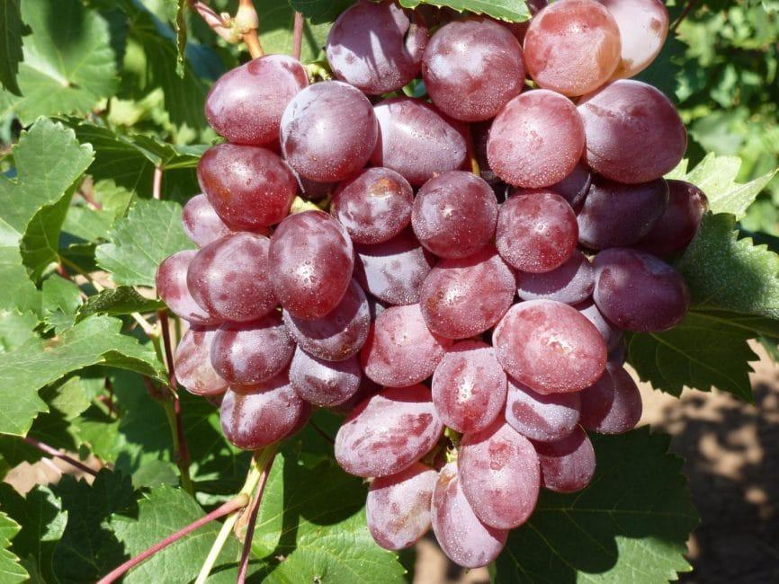 Виктория сорт винограда