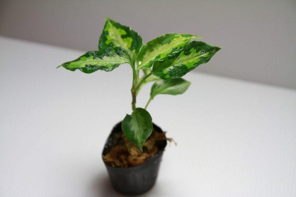 Молодое растение, готовое к пересадке в стационарный горшок