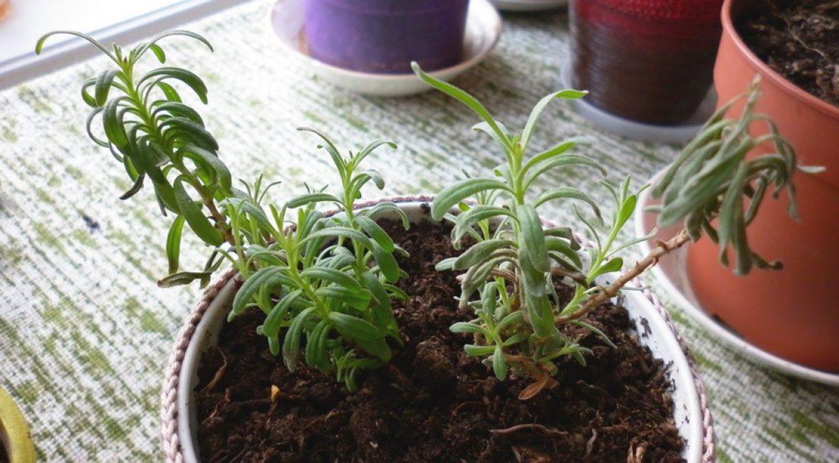 Молодое растение в стационарном горшке