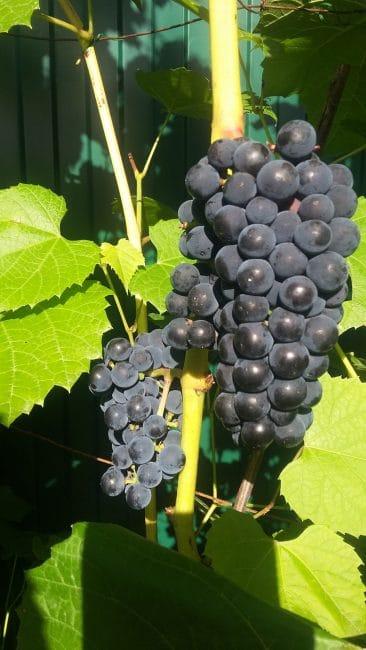 Вэлиант сорт винограда