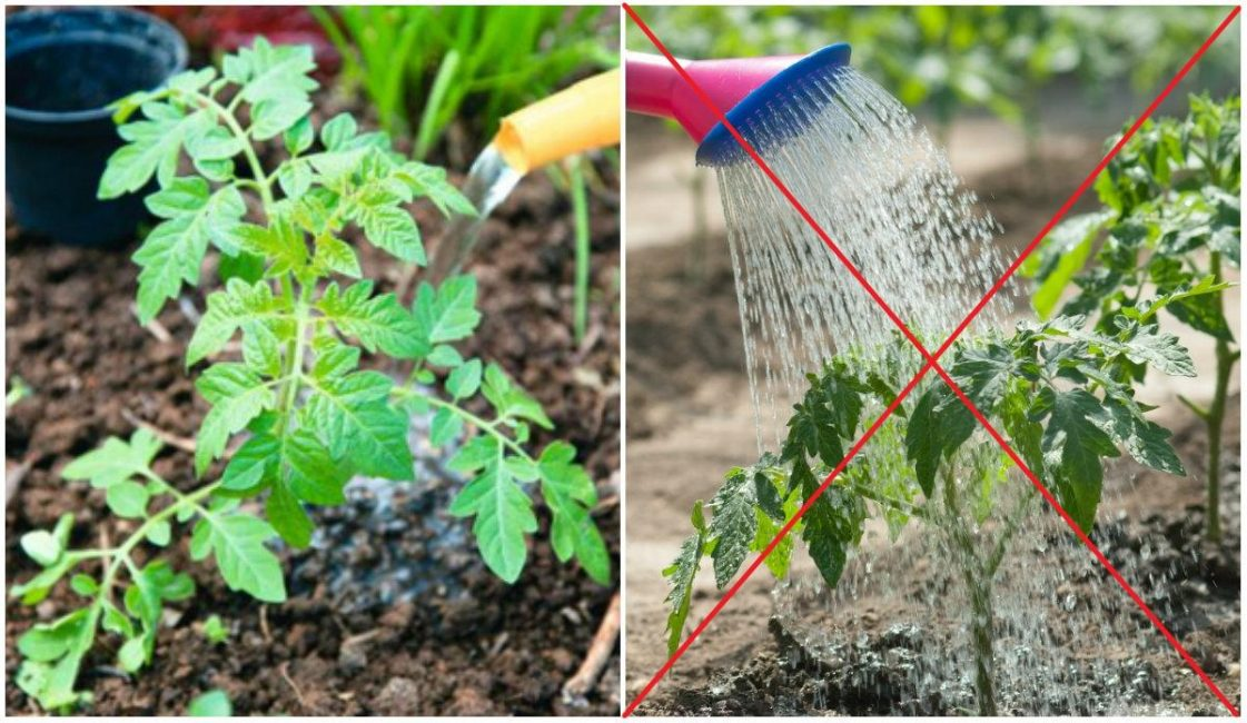 Полив томатов по листу может стать причиной грибковых заболеваний