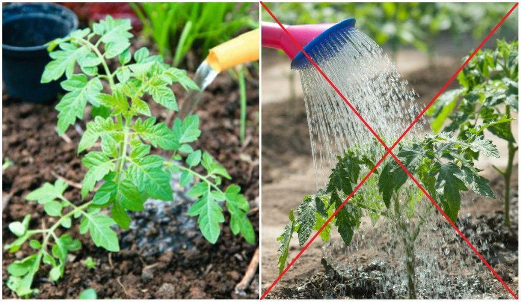 Метод выращивания томатов без полива 459