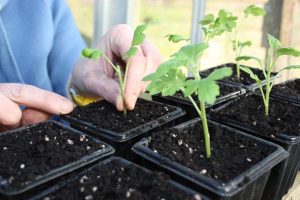 Процесс размножения хризантем