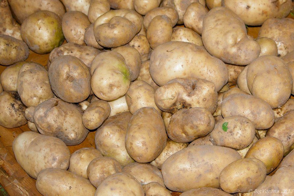 Клубни картофеля Милены