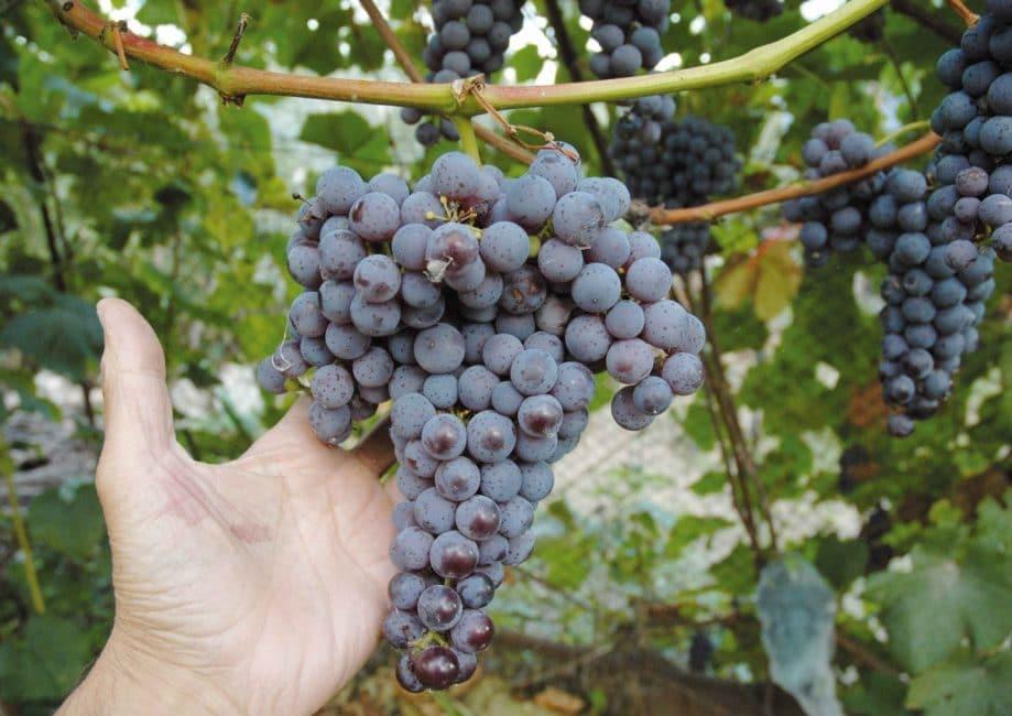 Гармония сорт винограда