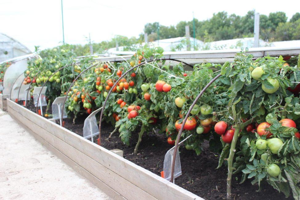 При выращивании томатов теплицу, парник нужно регулярно проветривать