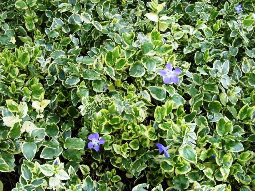 Род барвинков имеет сорта с пестрыми листьями.