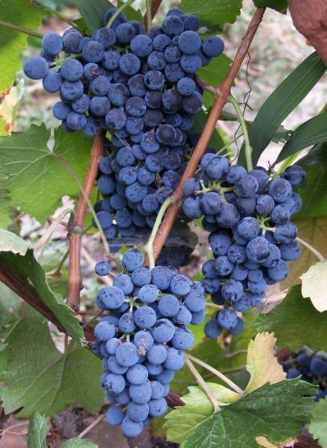 Денисовский сорт винограда