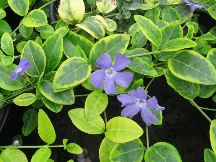 Кусты барвинка обладают хорошей устойчивостью к вредным насекомым и болезням.