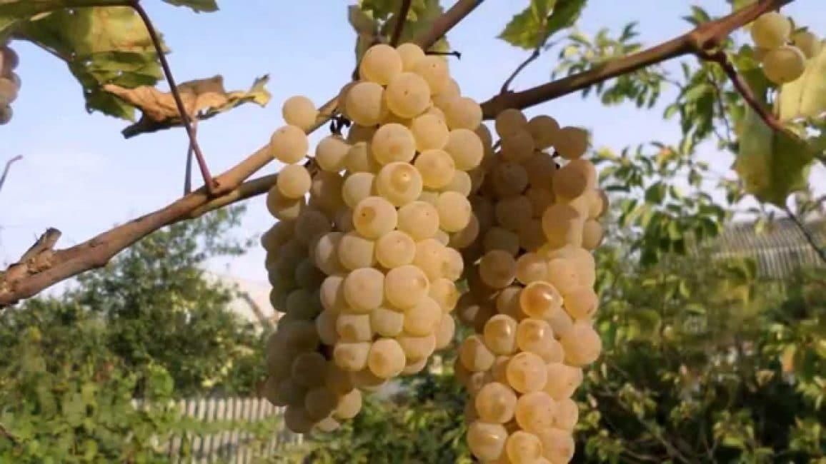 Жемчуг зала сорт винограда