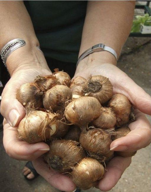 Луковицы крокусы