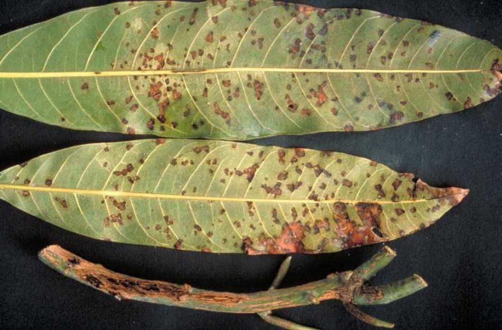 Повреждение листьев манго при бактериозе