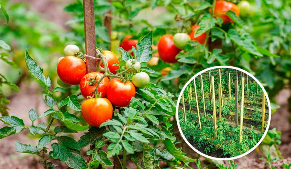 Длинные стебли растения не позволяют выращивать его без подвязывания