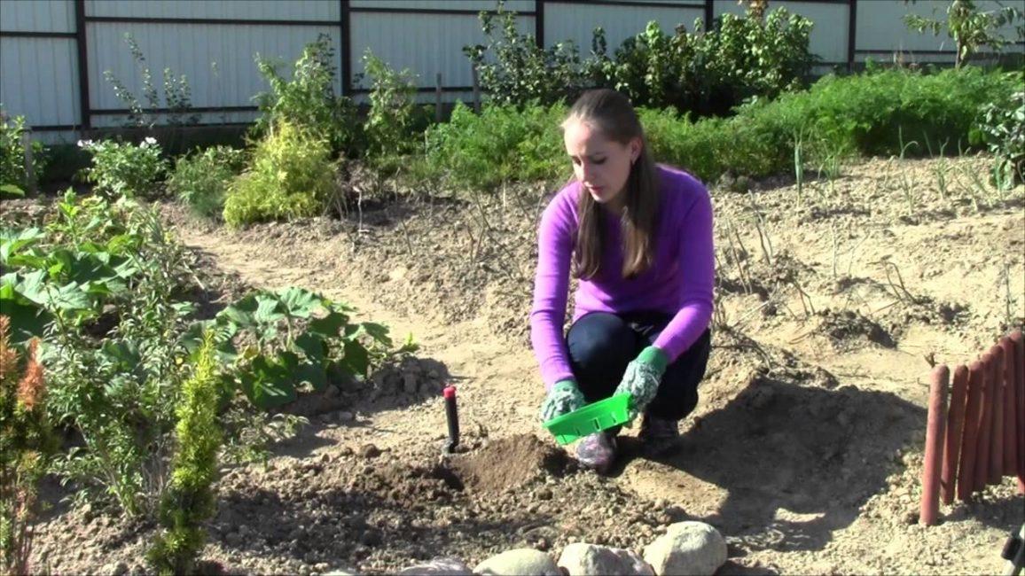 Крокусы не растут на заболоченных и кислых почвах