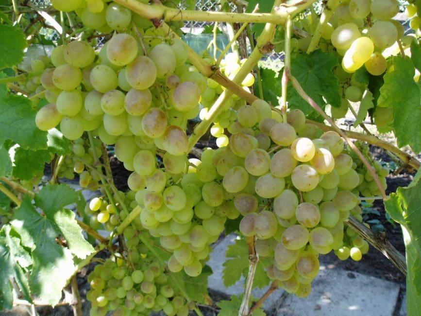 Мускат Дальневосточный сорт винограда