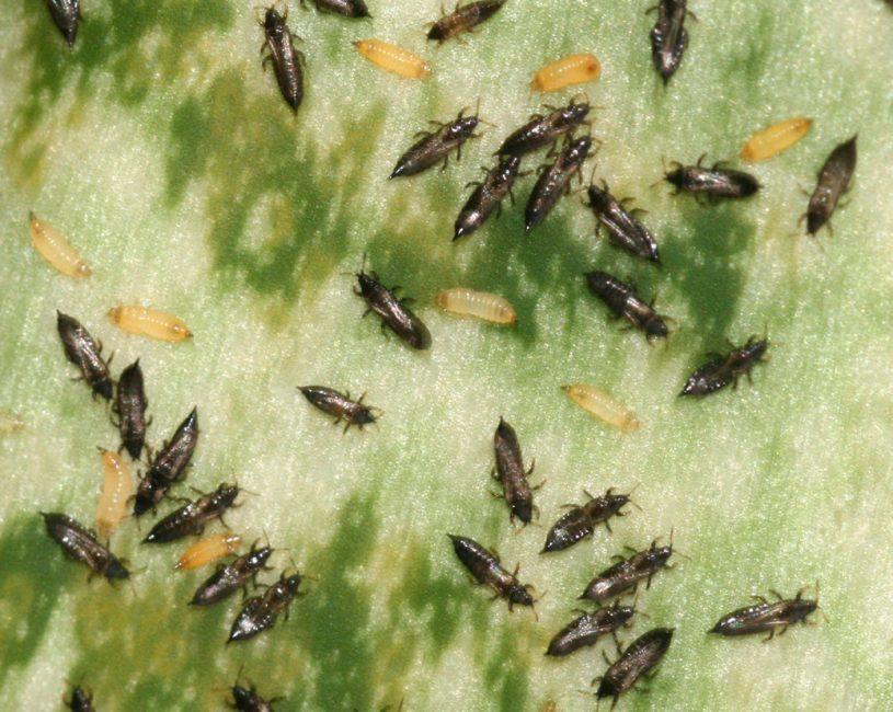 Трипсы и их личинки