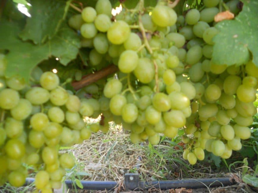 Илья сорт винограда