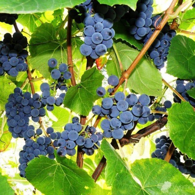 Зилга сорт винограда