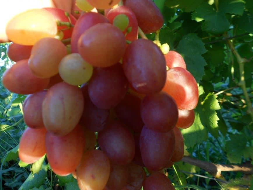 Алладин сорт винограда