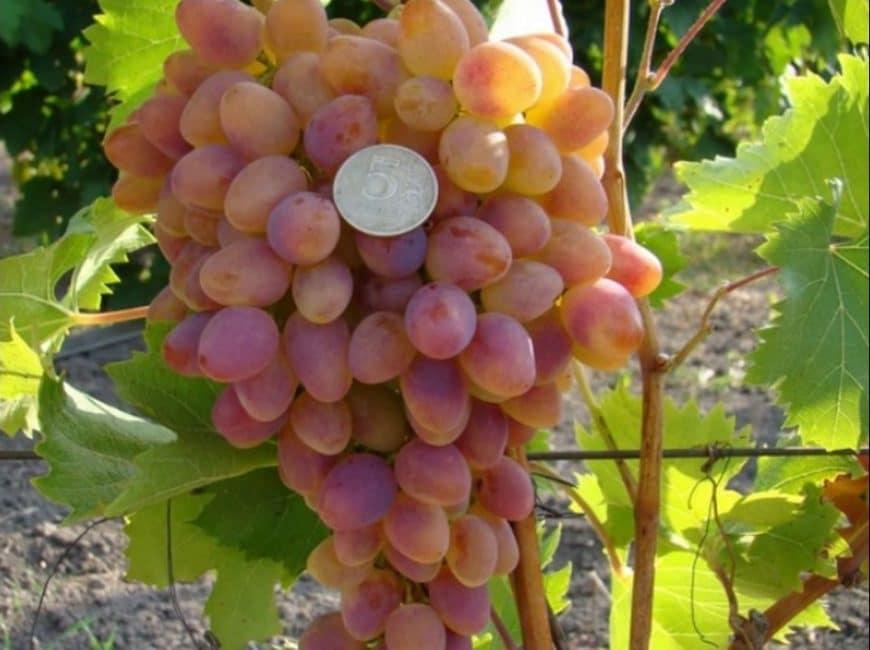 Арочный сорт винограда