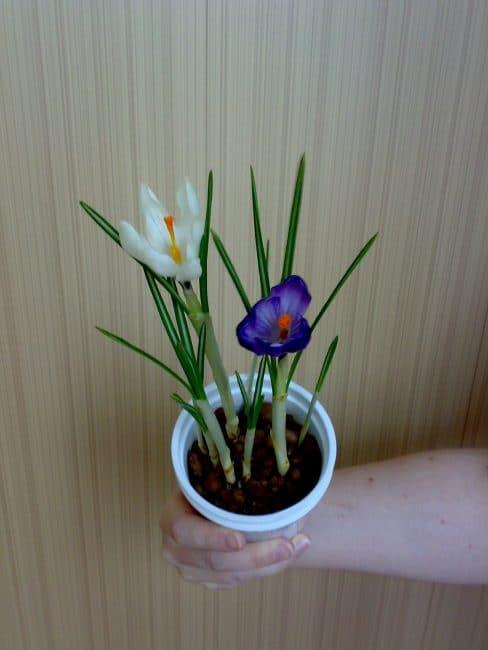 Цветущий крокус