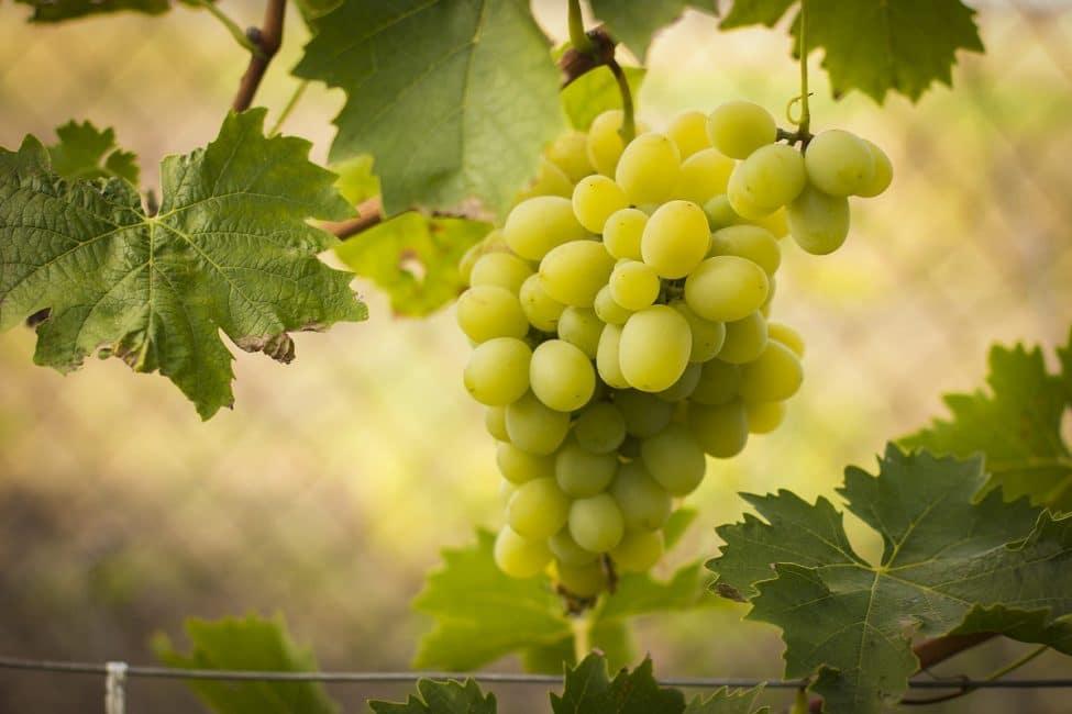 Спутник сорт винограда