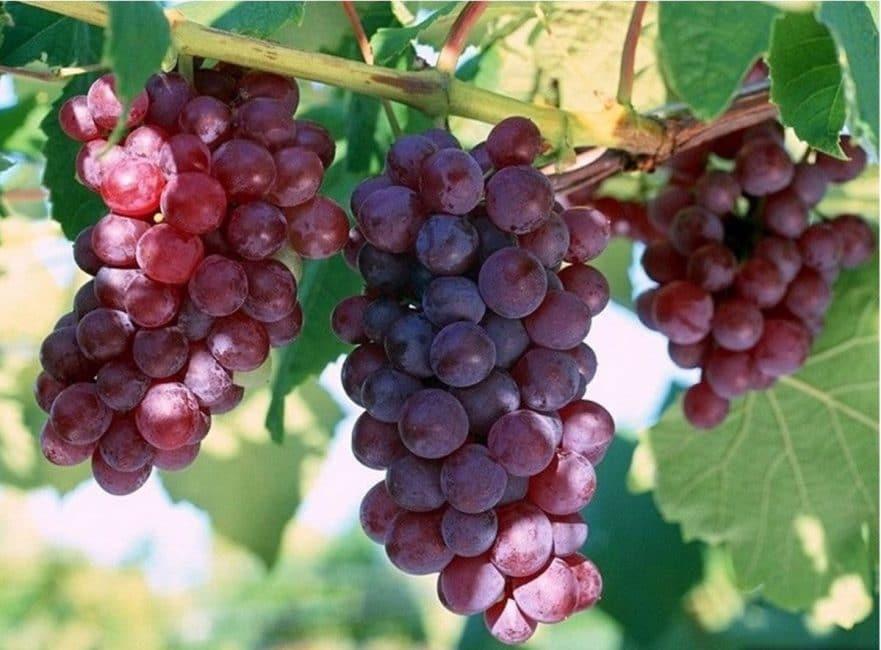 Новый Русский сорт винограда