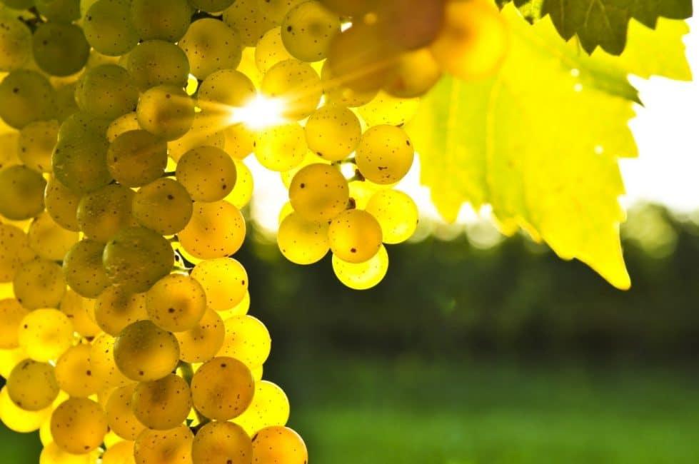 Виноград любит тепло и свет, но это не означает, что его можно выращивать только в регионах с теплым климатом.