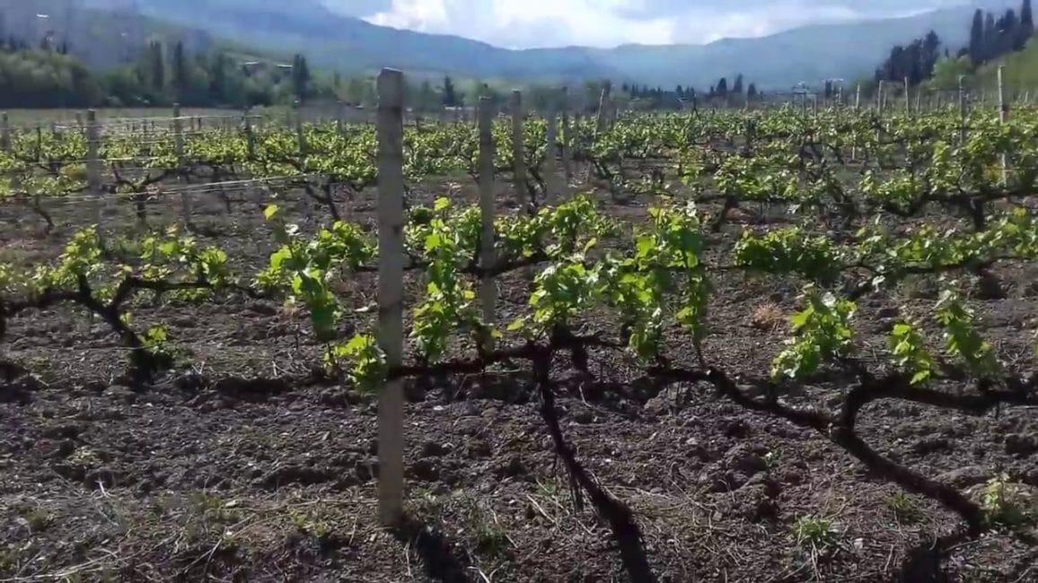 Место для посадки винограда должно хорошо прогреваться солнечными лучами.