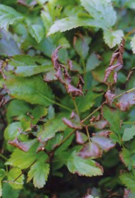 Пораженная листва астильбы