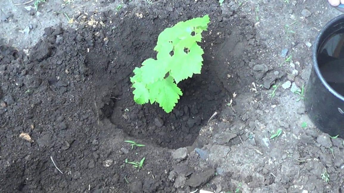 Оптимальным временем для посадки нового куста винограда является конец апреля – начало мая.