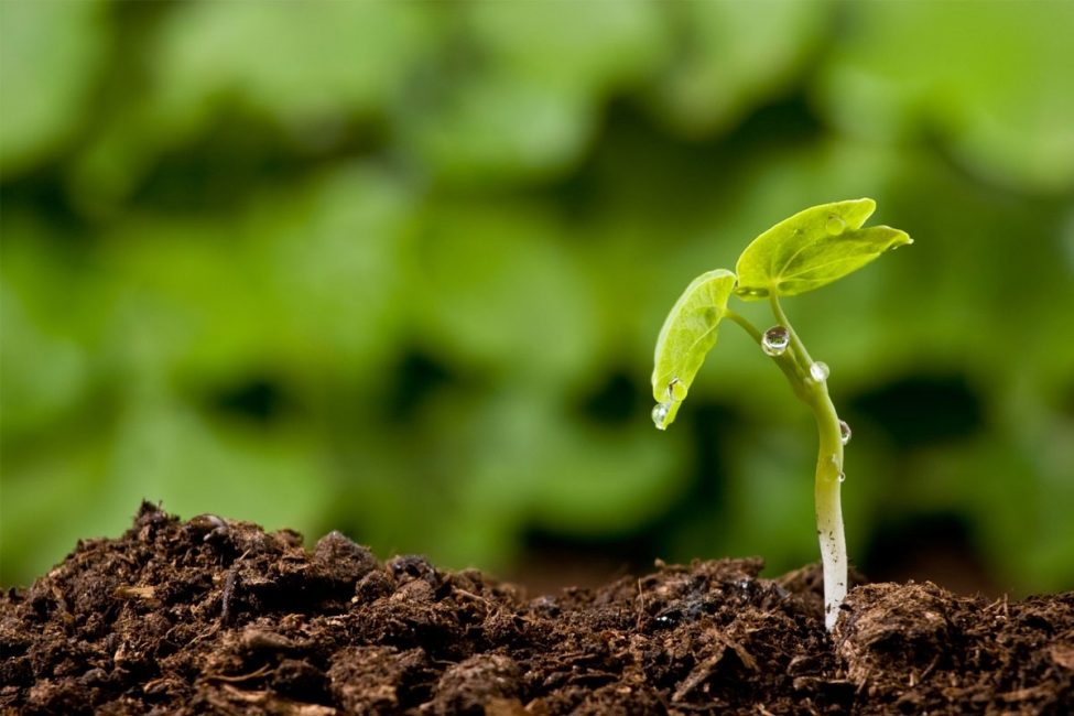 Анемоны предпочитают рыхлые, богатые почвы.