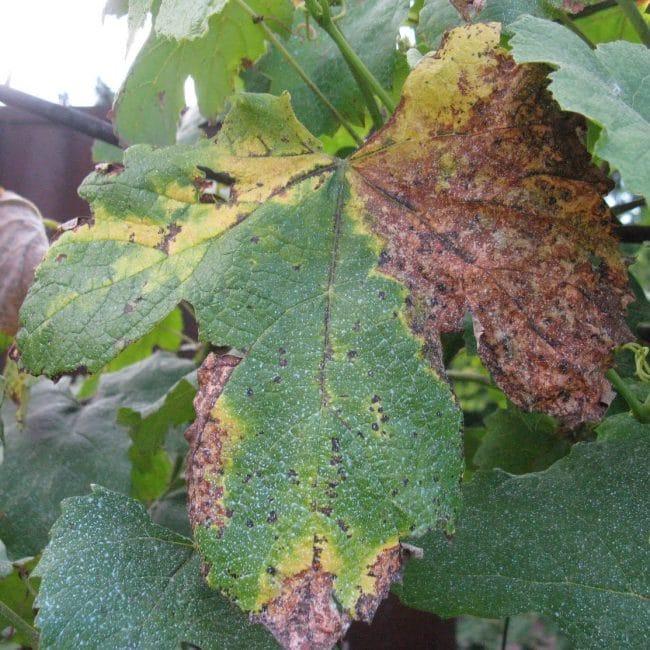 Пораженный лист винограда