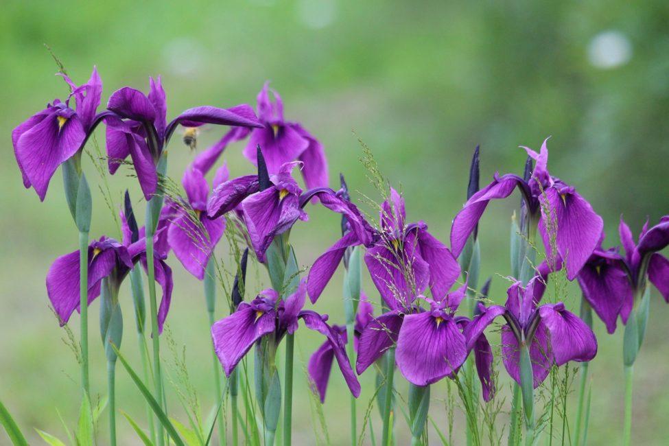 Ирисы относятся к неприхотливым растениям, которые даже при минимальном уходе чувствуют себя прекрасно.