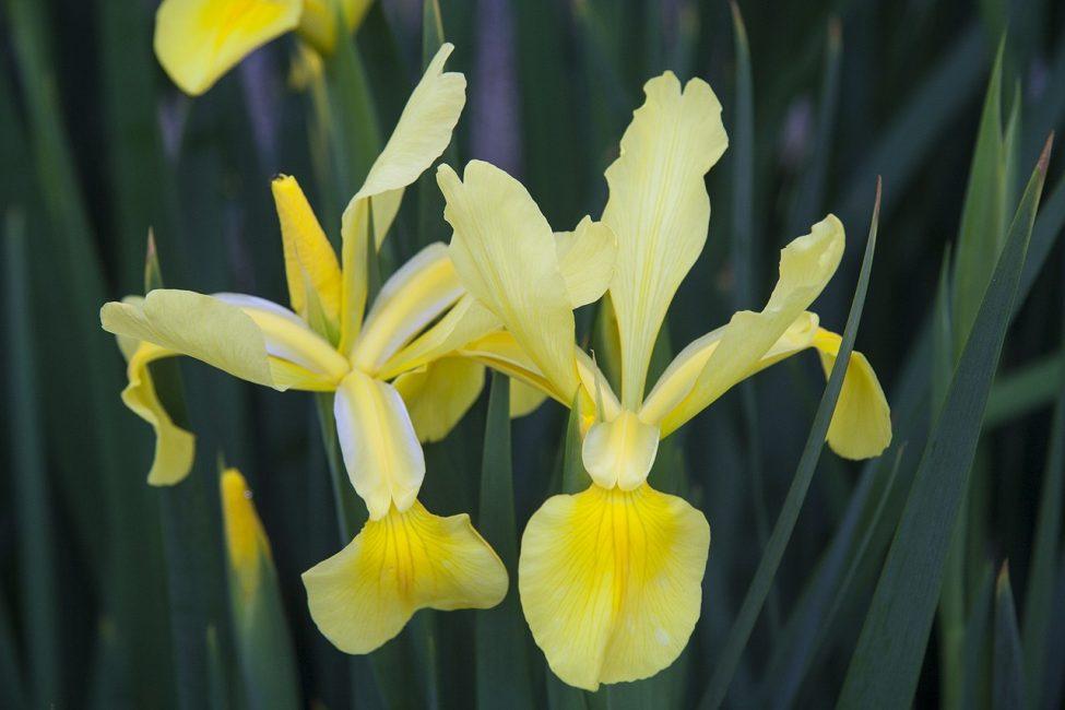 Ирисы – цветы богини Ириды