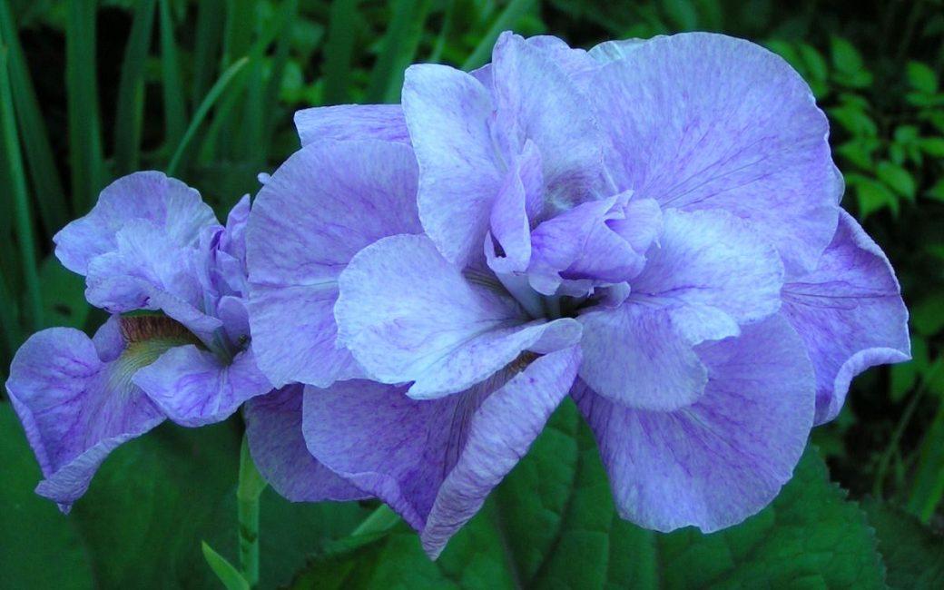 Imperial Opal iris ирис