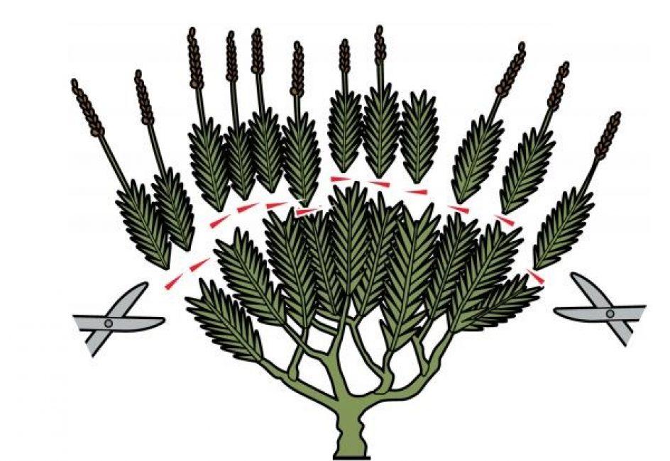 Основная обрезка производится летом, во время окончания цветения.