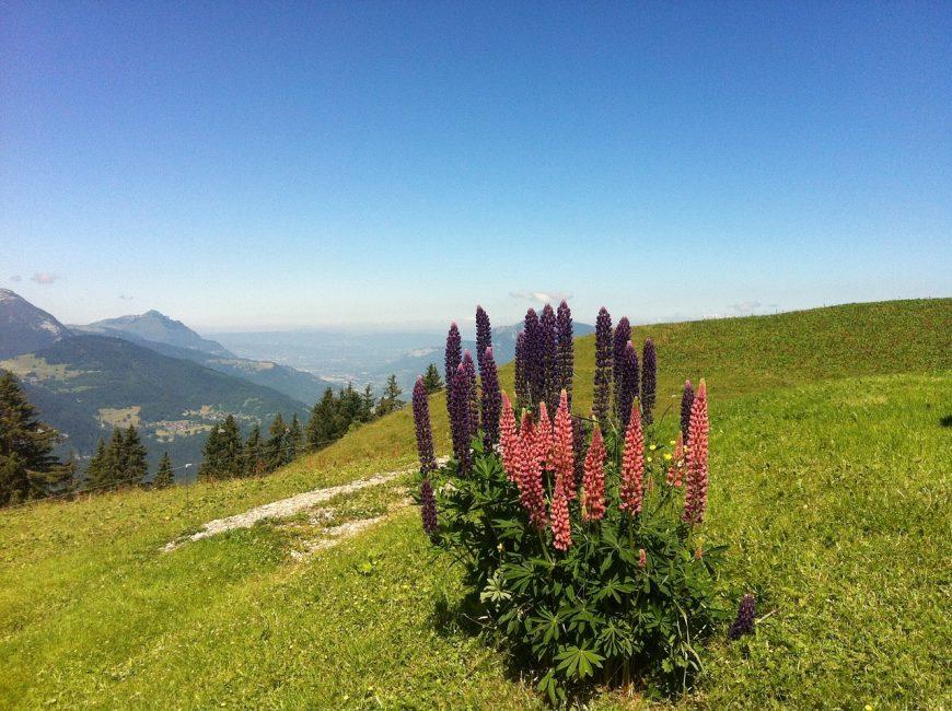 Люпины в Альпах